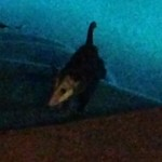 Opossum In The Pool