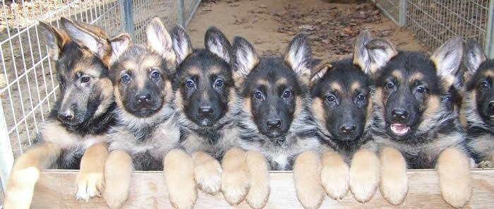 Great Dogs: German Shepherds